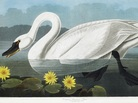 One of the 400 engraved images in the Audubon set: a Common American Swan.