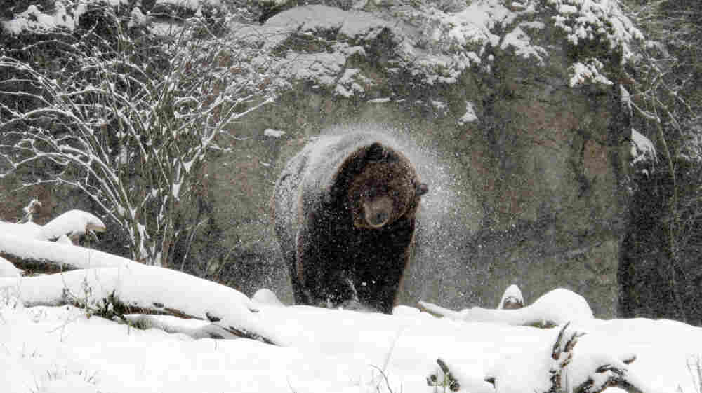 In this photo provided by the Woodland Park Zoo, a grizzly bear shakes off snow in the Northern Trail exhibit on January 18, in Seattle, Wash.