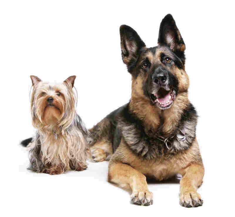 The difference between these two dogs is not as great as you think. New research shows almost all physical traits in dogs are controlled by just a few genes.