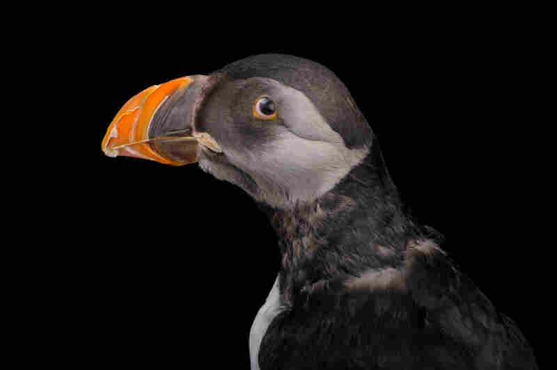 An Atlantic puffin (Fratercula arctica) in winter plumage at the National Aquarium in Baltimore.
