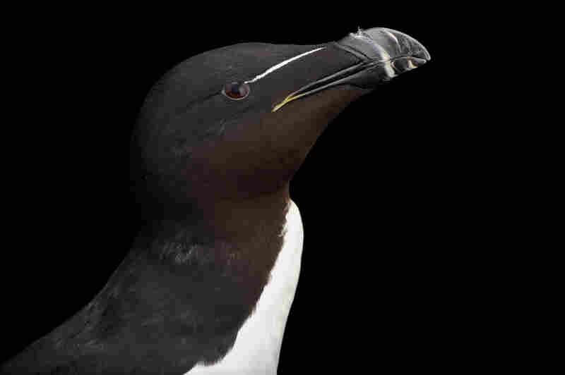 A razorbill (Alca torda) in summer plumage at the National Aquarium in Baltimore.