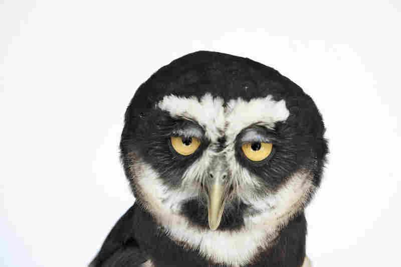 A spectacled owl (Pulsatrix perspicillata).