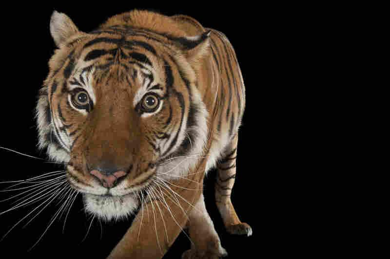 An endangered Malayan tiger (Panthera tigris jacksoni) at the Omaha Zoo in Nebraska.
