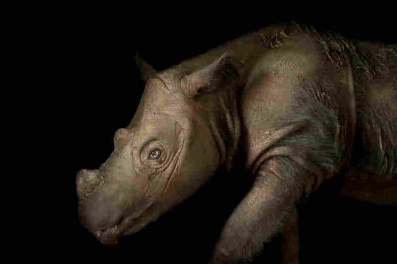 Harapan, a four-year-old male Sumatran rhino (Dicerorhinus sumatrensis), at White Oak Conservation Center in Florida.