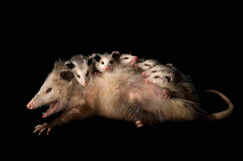 An opossum (Didelphis virginiana) with babies.