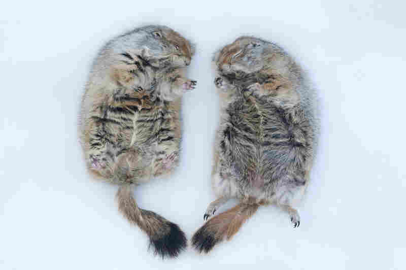 Portrait of hibernating arctic ground squirrels (Spermophilus parryii) at the University of Alaska in Fairbanks.