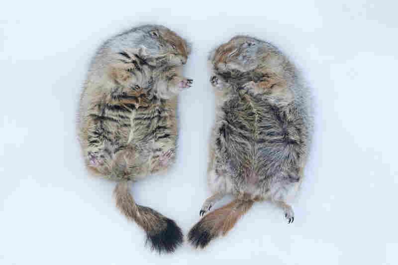 Portrait of hibernating arctic ground squirrels (Spermophilus parryii) at the University of Alaska in Fairbanks.