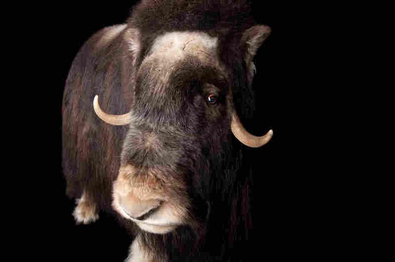 A musk ox (Ovibos moschatus) at the University of Alaska.