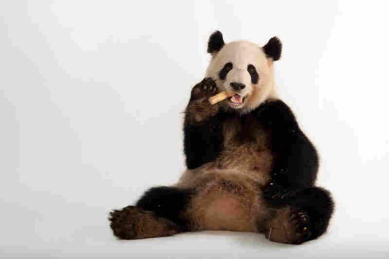 A giant panda (Ailuropoda melanoleuca) at Zoo Atlanta.