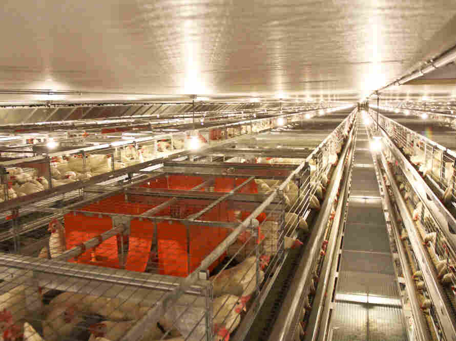 The new cages at JS West feature enclosed spaces, shown in red, called nest boxes. The spaces seem to be popular among the hens for laying eggs.