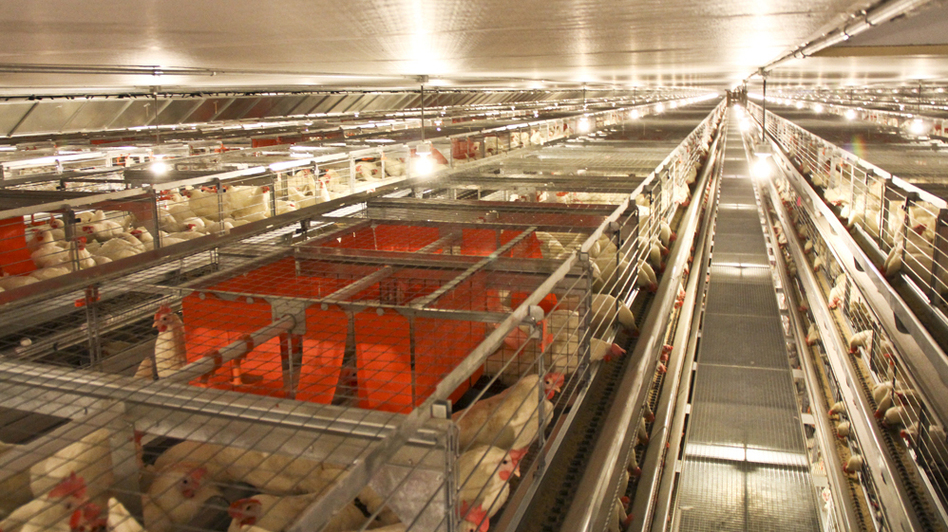 The new cages at JS West feature enclosed spaces, shown in red, called nest boxes. The spaces seem to be popular among the hens for laying eggs. (Big Dutchman )