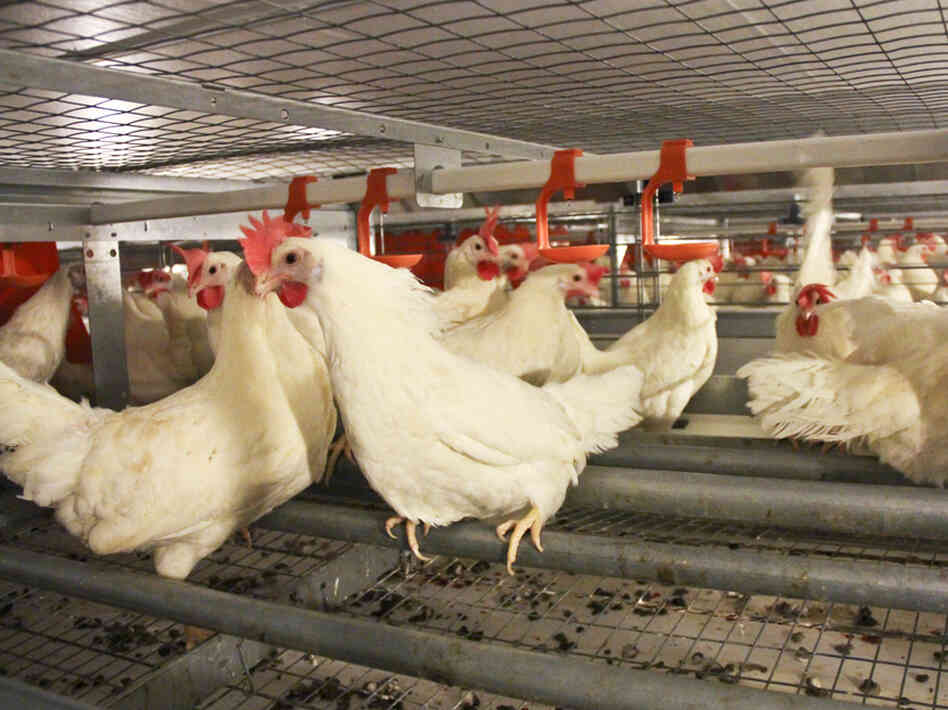 At the JS West egg farm, south of Modesto, Calif., one chicken house has the new, spacious cages that egg producers and animal welfare advocates say keep chickens happier.