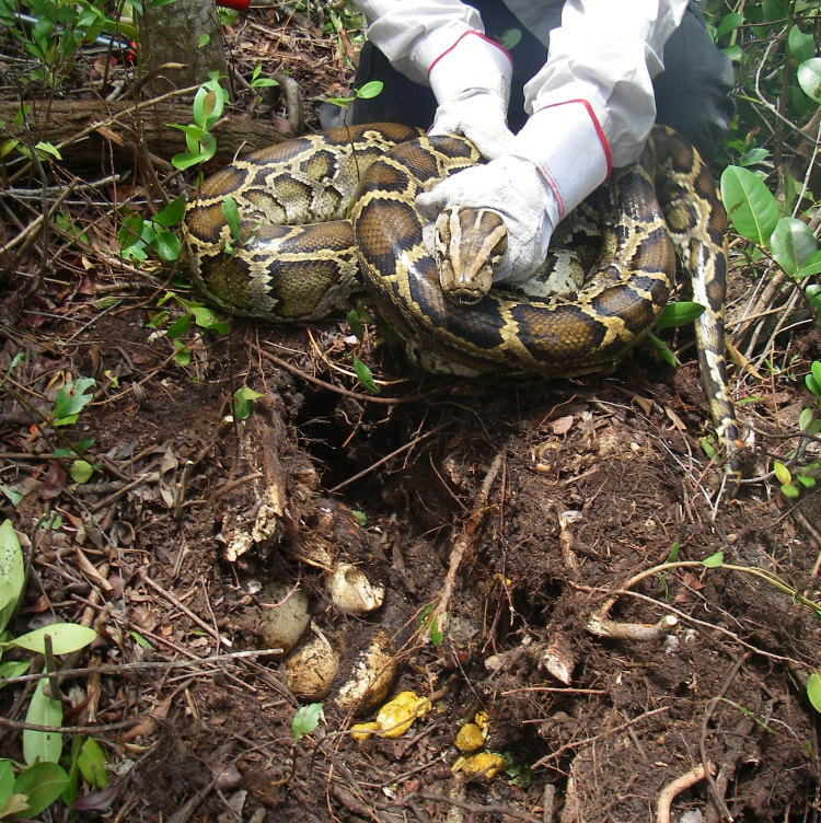 The paid hunters dealing with Florida's python problem