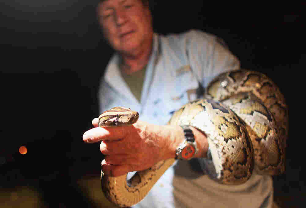 Joseph Wasilewski, a wildlife biologist, captures a wild python on the side of the Tamiami Trail road that cuts through the Florida Everglades on Sept. 16, 2009. The number of invasive pythons in the Everglades has exploded since the 1990s.