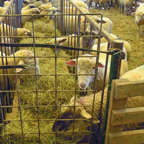 Lamb Boom Has Sheep Farmers Flocking Together