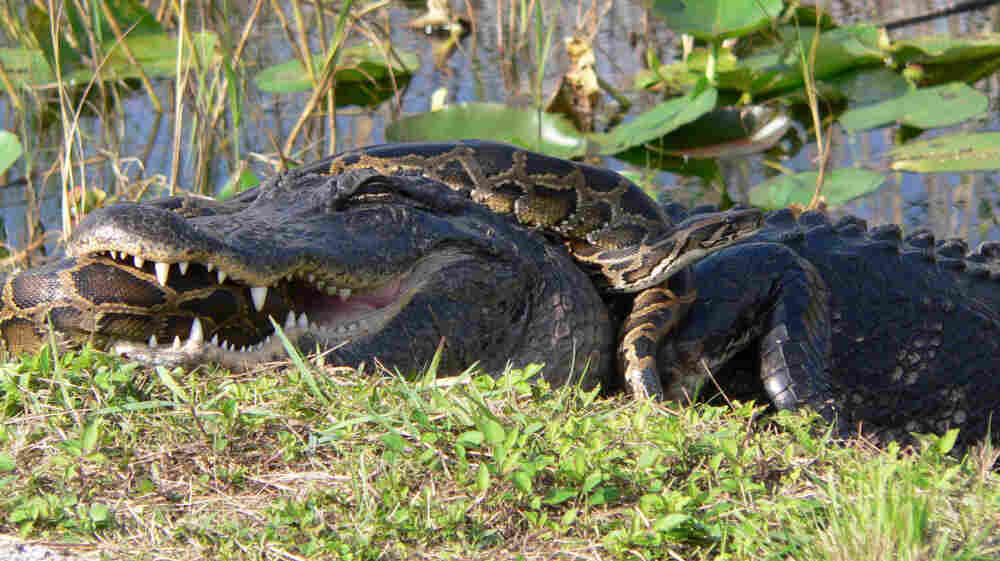 Unlike this alligator, many animals native to the Everglades didn't evolve to take on a giant python. As a result, the snakes have become top predators in the environment, decimating populations of raccoons, opossums and other mammals.