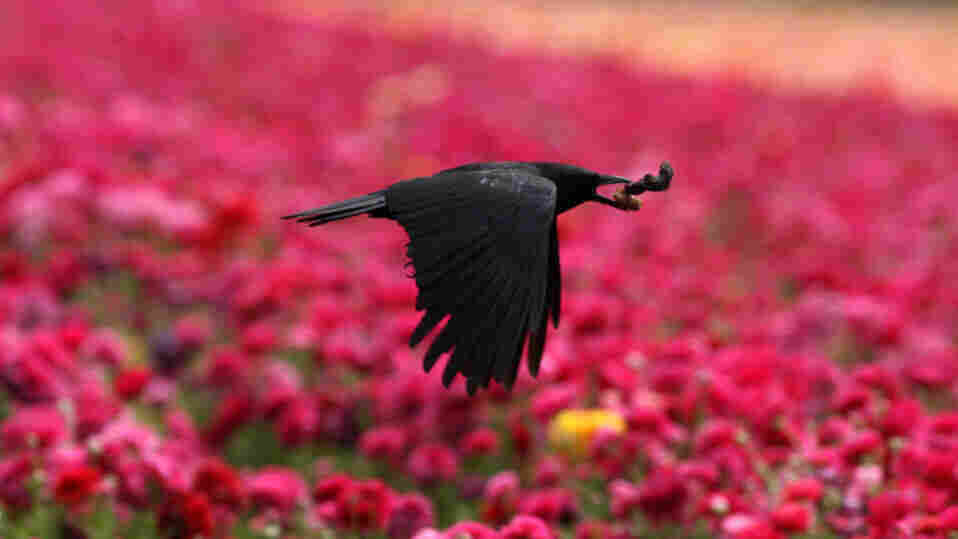 A crow flies above the flowers in Carlsbad, north of San Diego, California, April