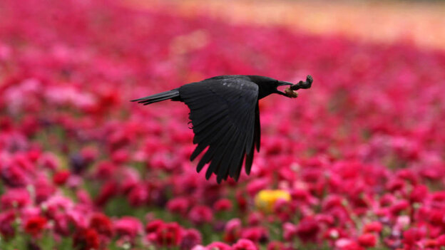 A crow flies above the flowers in Carlsbad, north of San Diego, California, April 29, 2008.