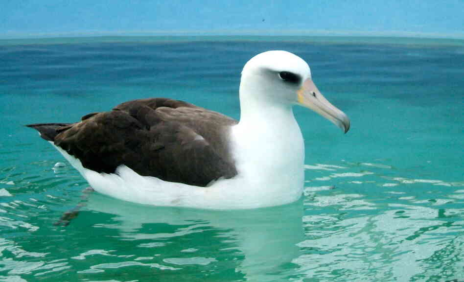 The Laysan Albatross at International Bird Rescue's Los Angeles Wildlife Center.