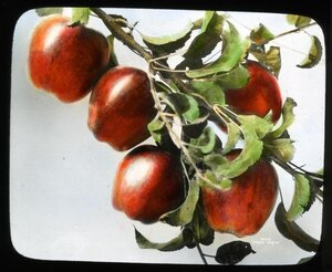 A hand-colored lantern slide of Red Delicious apples