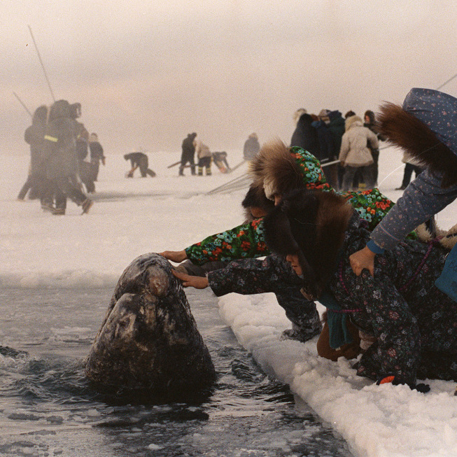 Women in Alaska reach out to touch one of the trapped whales in October 1988. Journalist Tom Rose was sent to cover the dramatic rescue. His book has been adapted into a movie called Big Miracle.