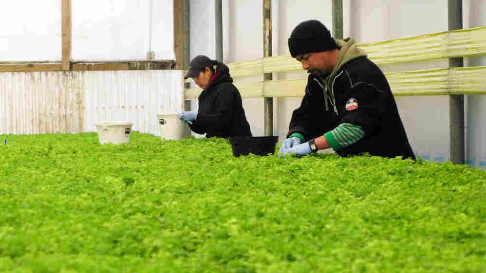 The S&W Seed Co., in Five Points, Calif., will grow these seedlings of zero-calorie stevia in the fields of California's Central Valley.