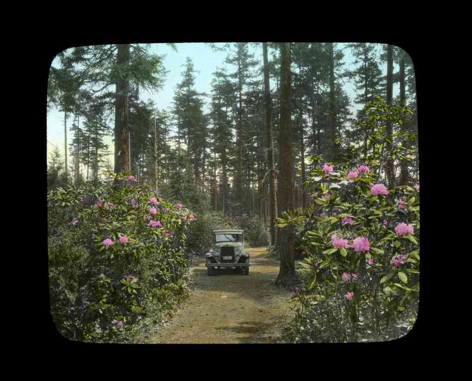 Rhododendrons in the forest, car driving through