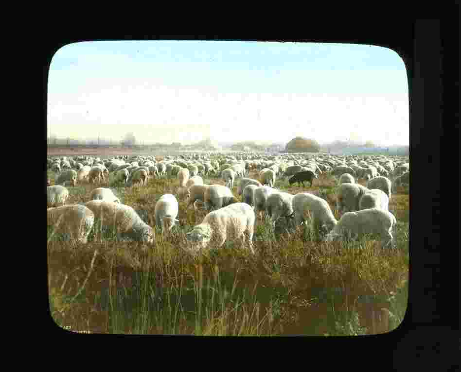 Sheep herd grazing