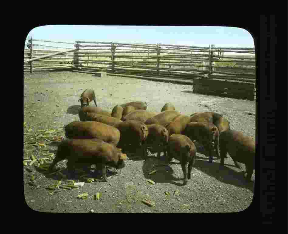 Duroc hogs near Rosalia