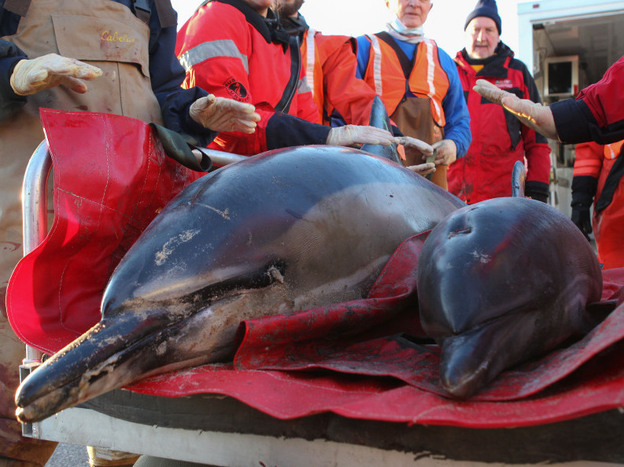 Mother and calf common dolphins are transported to the beach by a team from the International Fund for Animal Welfare and the New England Aquarium before being released back into Cape Cod Bay on Jan. 14. So far, area rescuers have counted 147 dolphin strandings this winter alone.