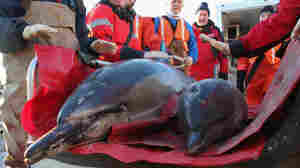 Beached Dolphins Keep Cape Cod Rescuers Busy