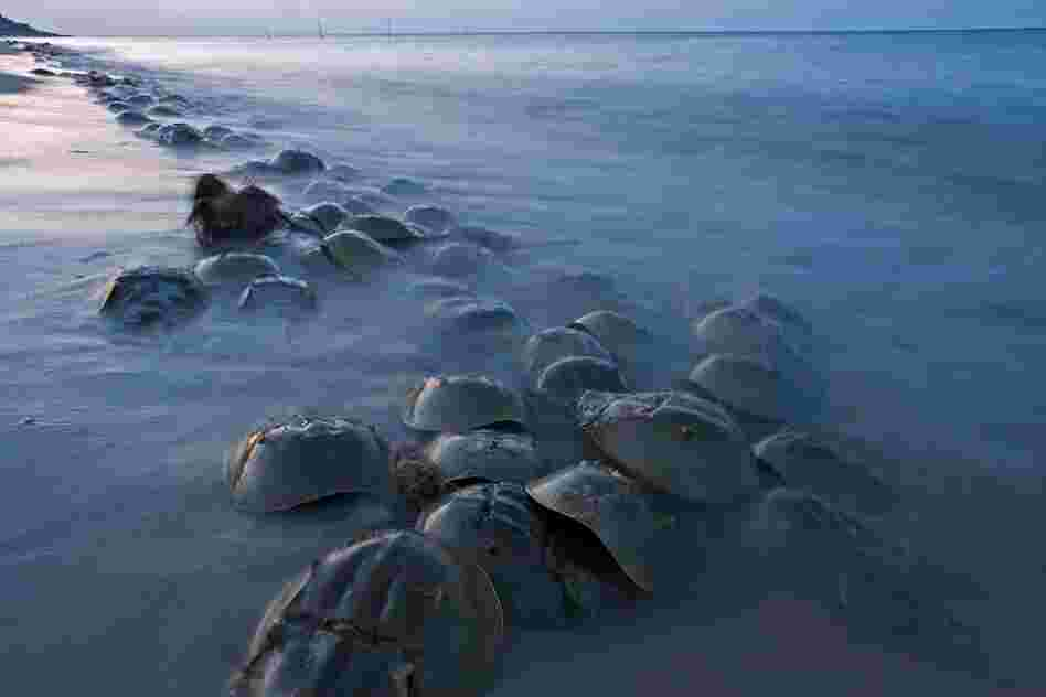 Horseshoe Crab Hatching Horseshoe Crab Orgy in About 2 Weeks These Guys Hatch And Are Less Than