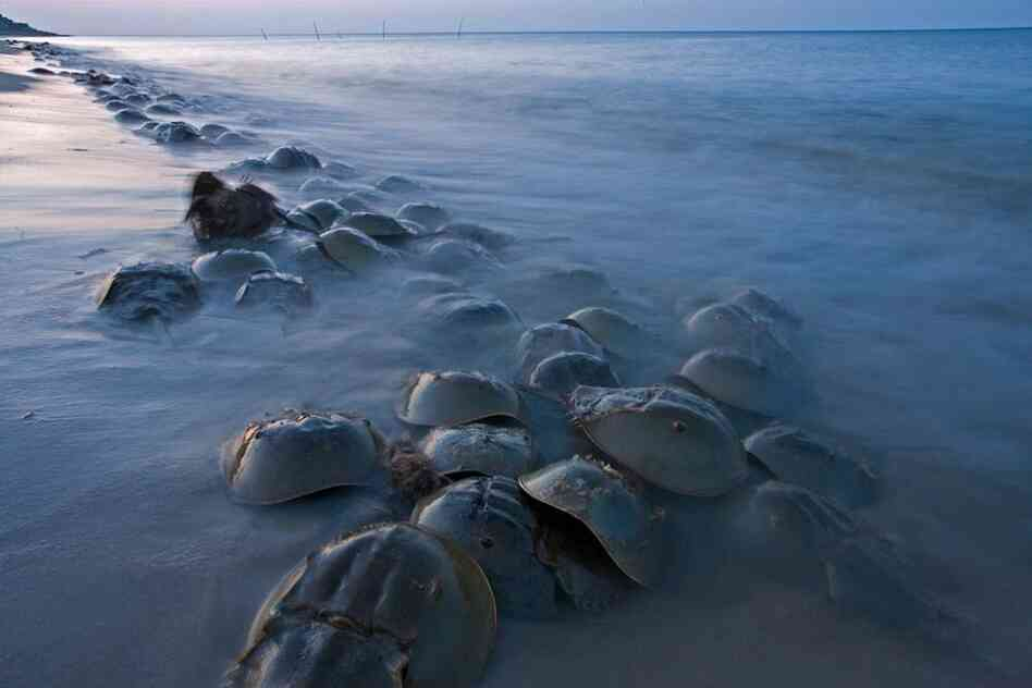 """""""One of the most amazing relics is the horseshoe crab,"""" says Piotr Naskrecki. """"It was already a living fossil when the dinosaurs first appeared. They go back 450 million years."""""""