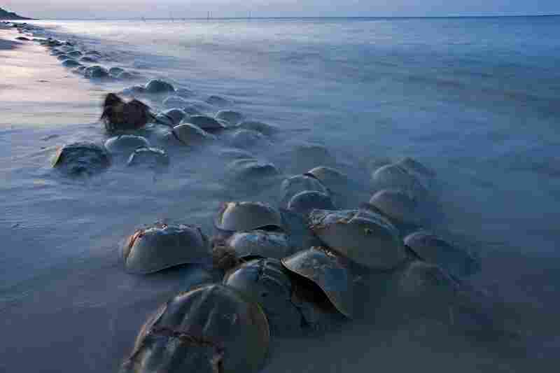 """One of the most amazing relics is the horseshoe crab,"" says Piotr Naskrecki. ""It was already a living fossil when the dinosaurs first appeared. They go back 450 million years."""