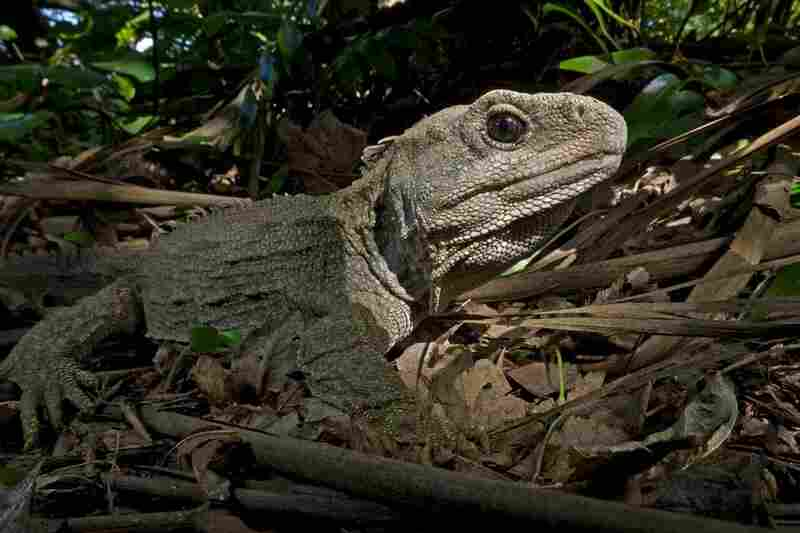 """Sphenodontia, the order of reptiles that once flourished in many habitats ... is considered a sister group to lizards and snakes. ... This means that both groups had a common ancestor but diverged very early in their evolutionary history, probably before early Jurassic. ... But while lizards and snakes are now the dominant lineage of reptiles ... tuatara [above] is the only relict of the Sphen..."