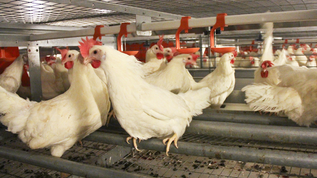 At the JS West egg farm, south of Modesto, Calif., one chicken house has the new, spacious cages that egg producers and animal welfare advocates say keep chickens happier. (Big Dutchman)