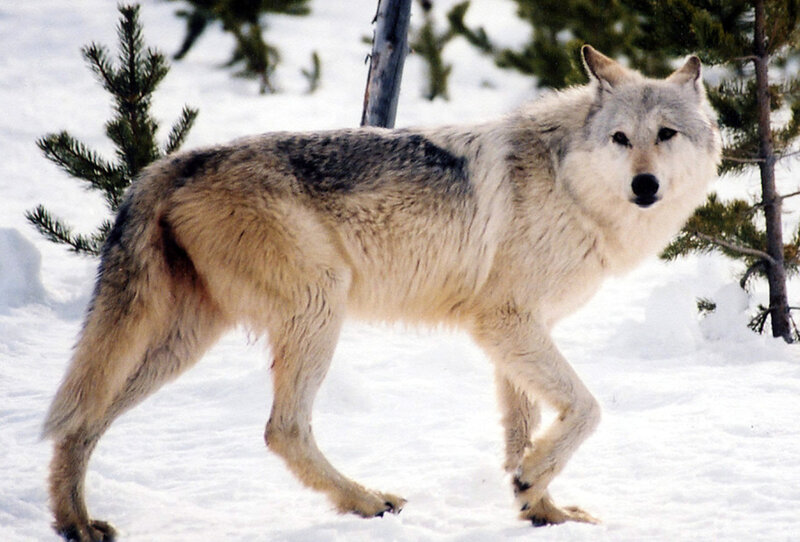 As Gray Wolves Return So Does Debate Over Hunting Npr
