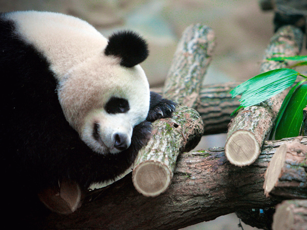 <strong>Jealous? </strong>If you have trouble sleeping, several new apps and devices promise to help you figure out why. In this photo from January, Huan Huan, a female giant panda, sleeps in a zoo in Beauval, France.