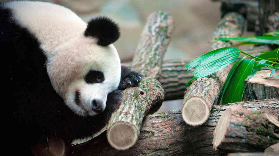 Jealous? If you have trouble sleeping, several new apps and devices promise to help you figure out why. In this photo from January, Huan Huan, a female giant panda, sleeps in a zoo in Beauval, France.