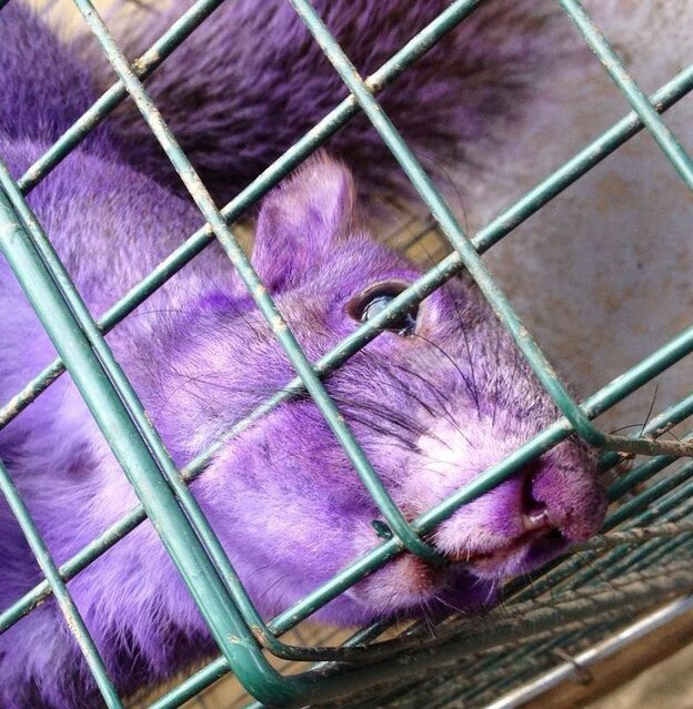 The purple squirrel captured in Jersey Shore, Pa.