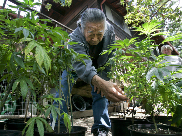 George Hanamoto inspects some marijuana plants he's growing as his wife, Jean, looks on at their home in Mendocino County, Calif., in 2008.