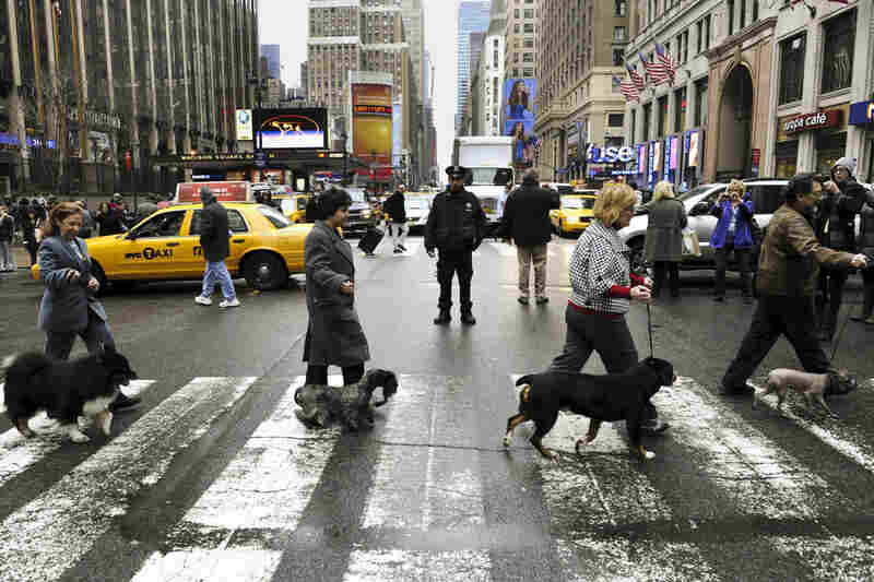 Four of the six new breeds in this year's competition cross 7th Avenue as they arrive in New York in January for a news conference.