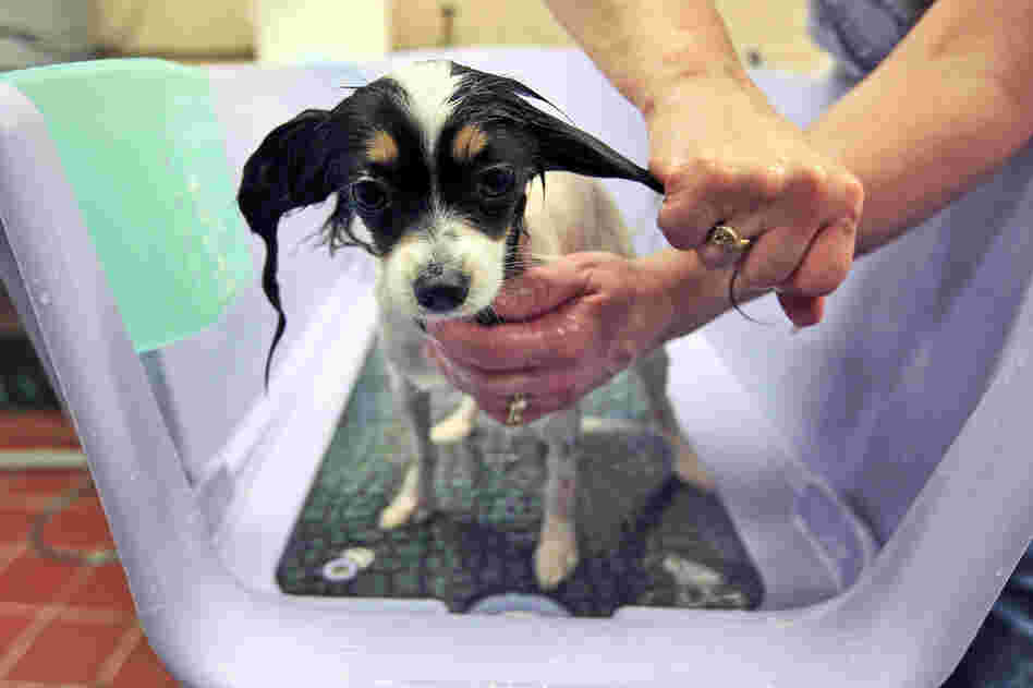 Dazzle, a 2-year-old papillon, is groomed and pampered at the Green Room Salon and Spa at the Pennsylvania Hotel.