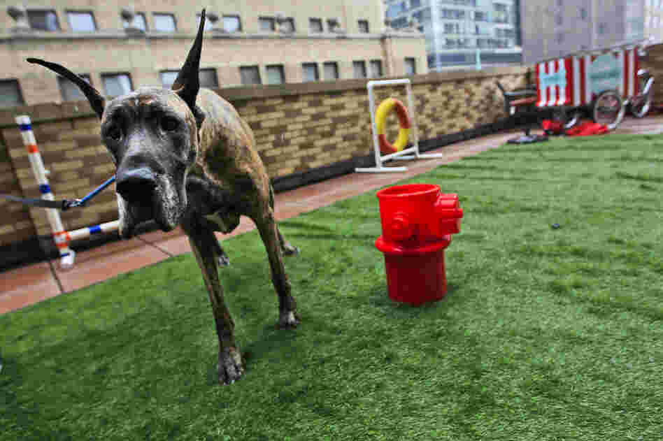Jenna, a 4-year-old Great Dane from Japan, relieves herself in the outdoor facilities of the Affinia hotel's Spot Suite.