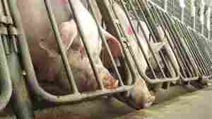 McDonald's Teams Up With Humane Society To Phase Out Pig Crates