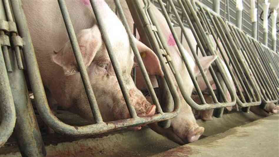 Breeding sows in crates at a subsidiary of Smithfield Foods in 2010. The photo was shot by the Humane Society as part of an undercover investigation.