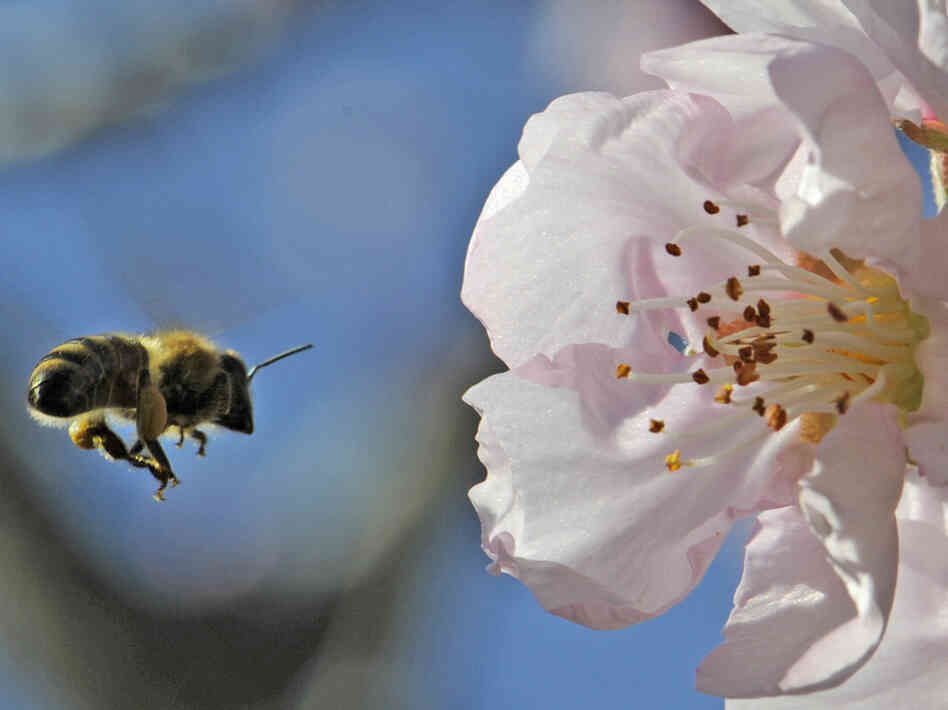Almond trees rely on bees to pollinate during their brief bloom for a few weeks in February.