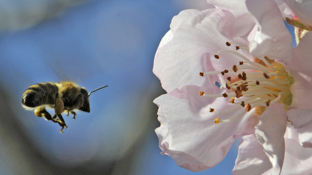 Almond trees rely on bees to pollinate during their brief bloom for a few weeks in February. (APN)