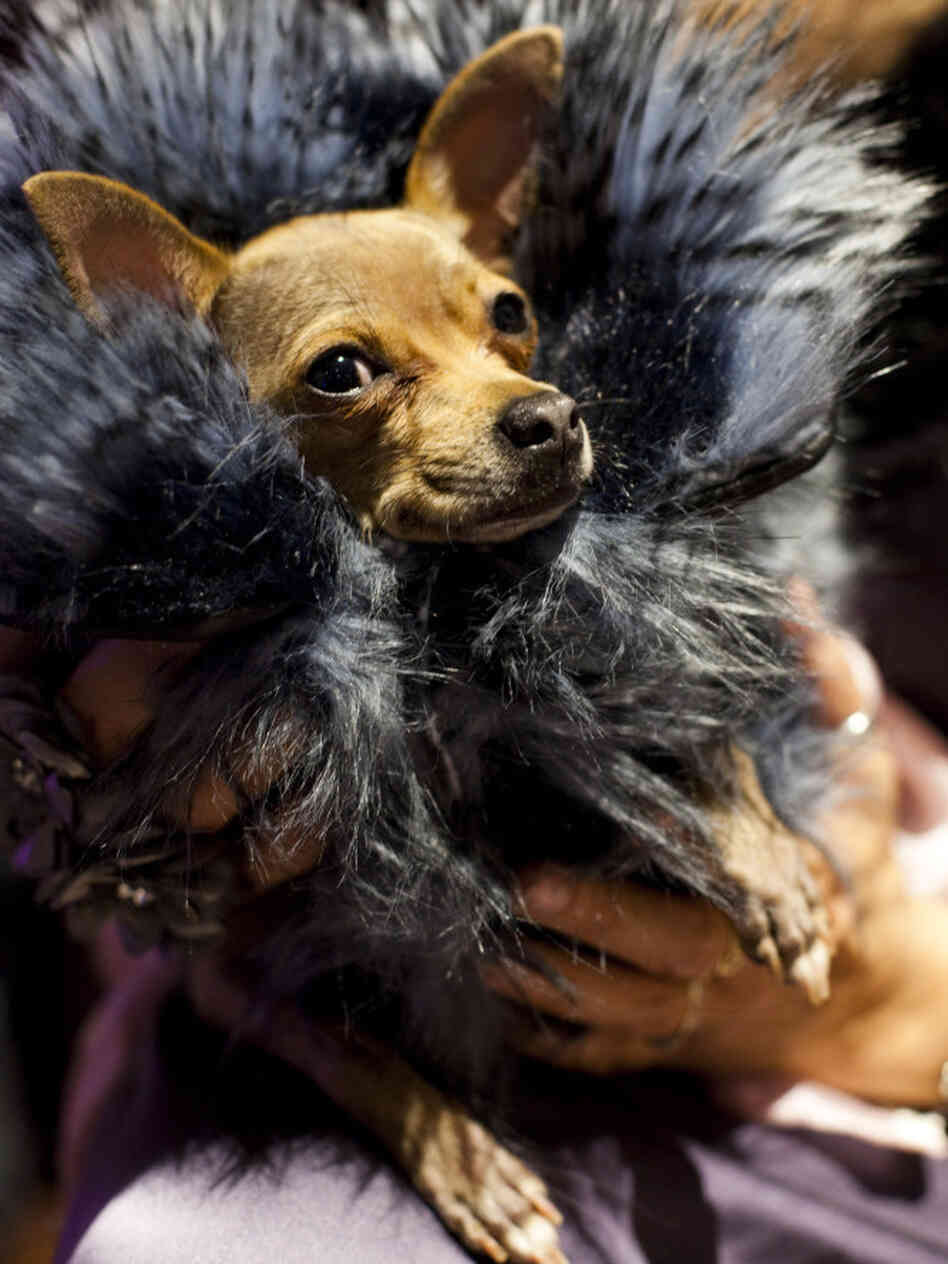 Miu Miu, a Chihuahua, poses for photographers at a fashion show held before the Westminster Kennel Club Dog Show in New York City.