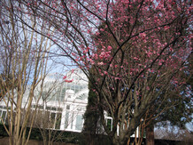 The Japanese apricot are in full bloom.